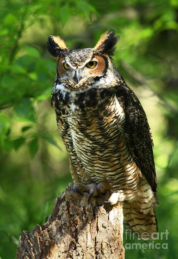 Daybreaks Gentle Caress Majestic Great Horned Owl In The ...