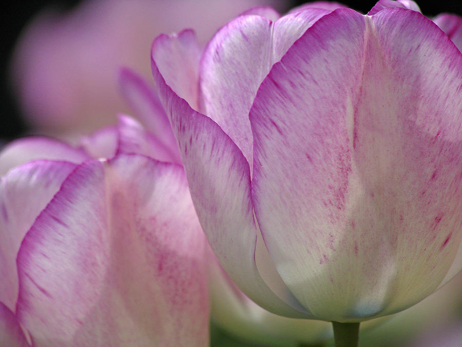 Tulip Photograph - Daydreamer by Juergen Roth