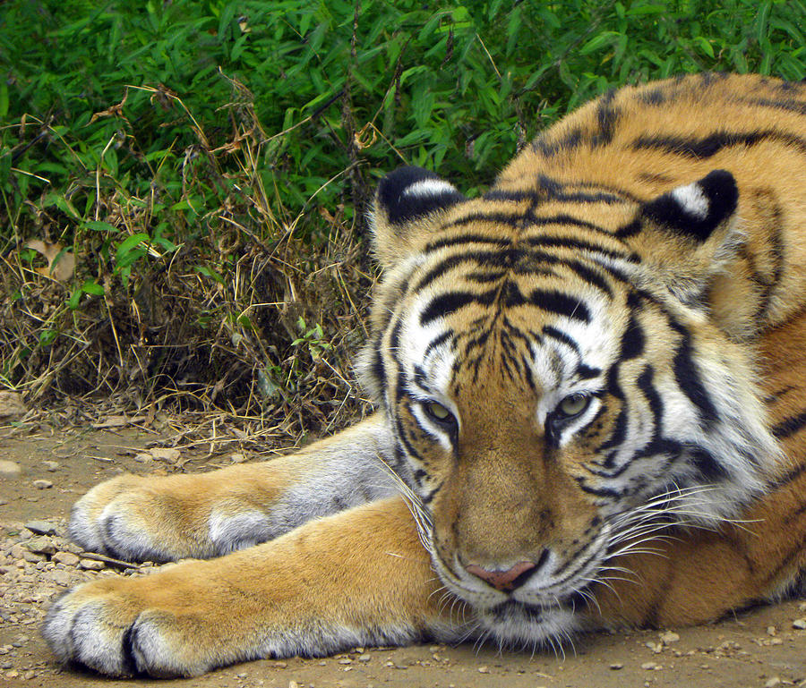 Tiger Photograph - Daydreaming by Sandi OReilly