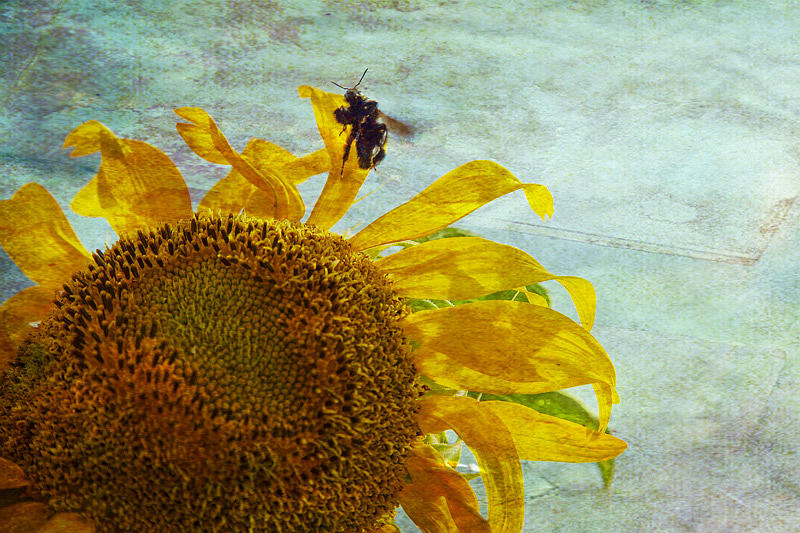 Sunflower Photograph - Daydreaming by Toni Hopper
