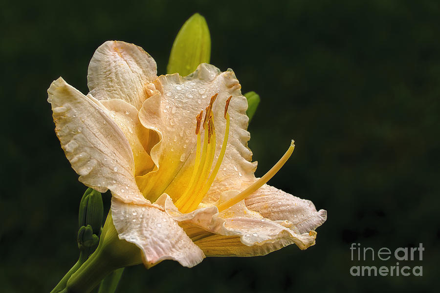 Flower Photograph - Daylily After A Morning Rain by Madonna Martin
