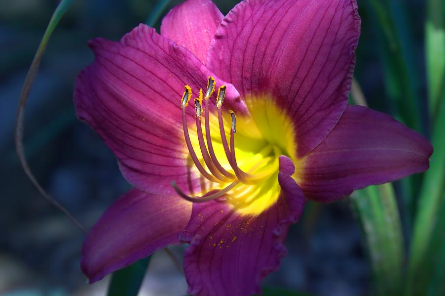 Daylily Photograph - Daylily by Edward Hamilton