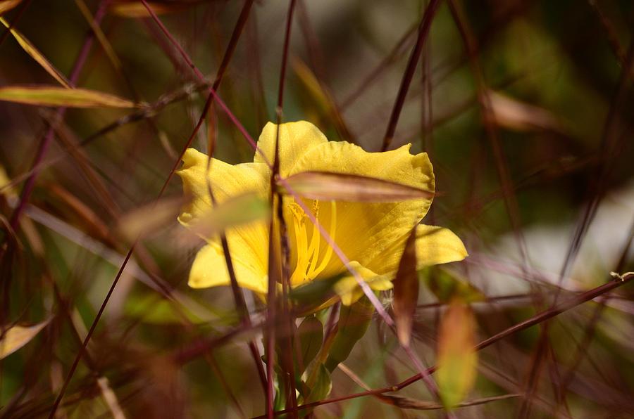 Daylily Photograph - Daylily In Autumn by Lori Tambakis
