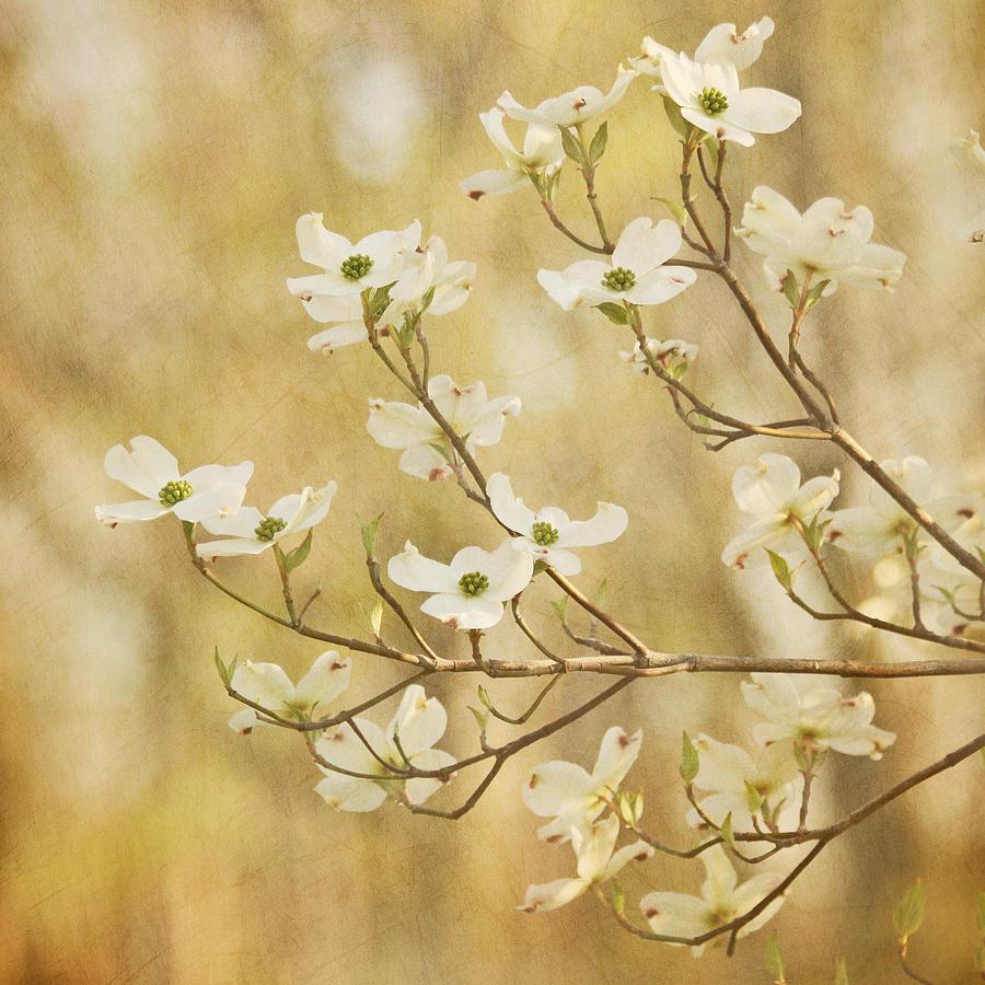 White Flower Photograph - Days Of Dogwoods by Kim Hojnacki