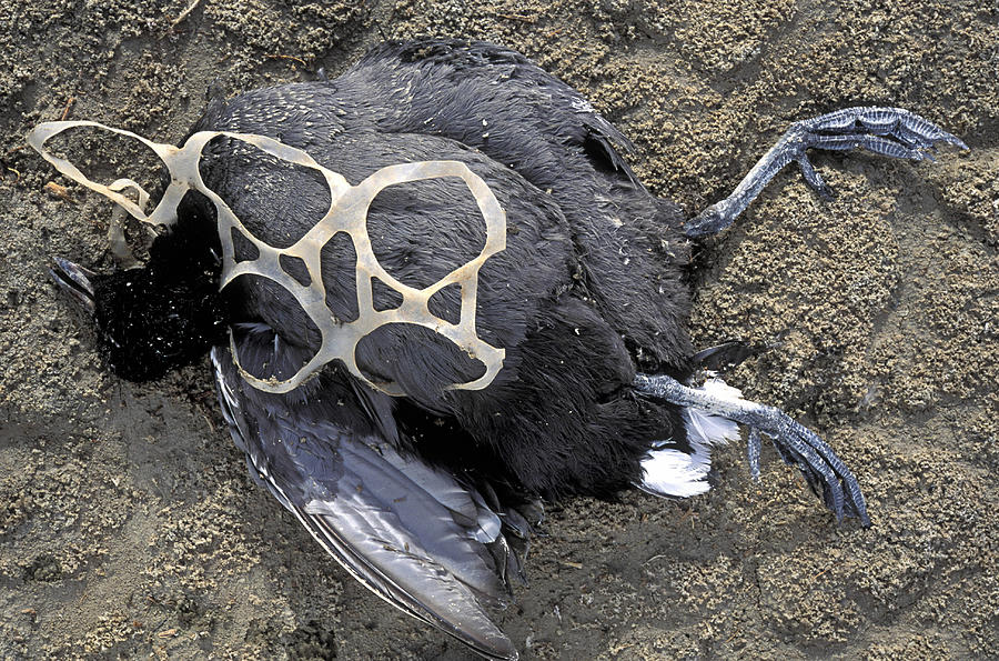 Dead American Coot, Fulica Americana, And Plastic Six Ring Soda Pack Holder. California Photograph by John Cancalosi