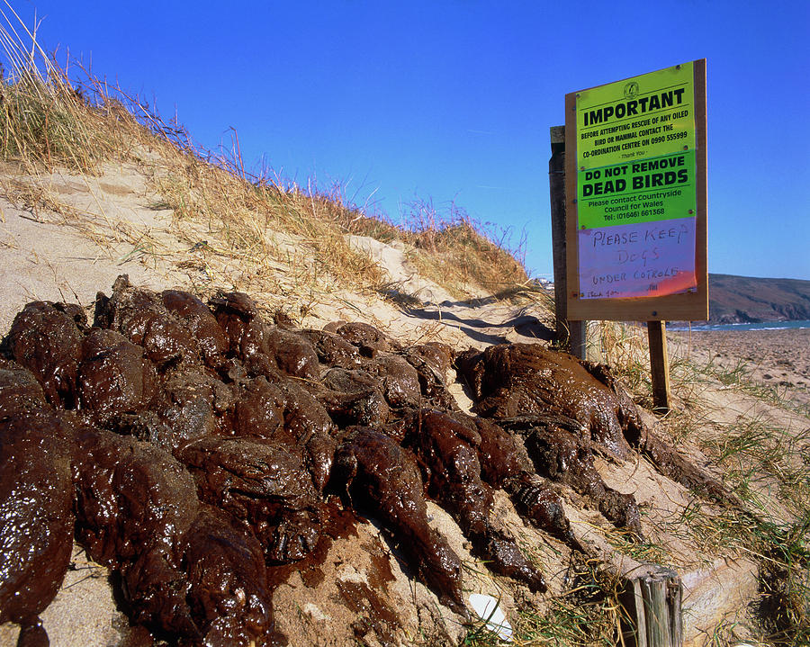 Oil Pollution Photograph - Dead Birds Killed By An Oil Spill At Sea. by Simon Fraser/science Photo Library