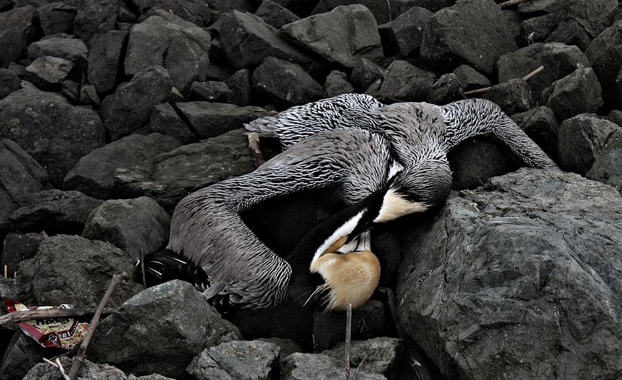 Bird Photograph - Dead Pelican Trash And Creosote Covered Rocks by Elery Oxford