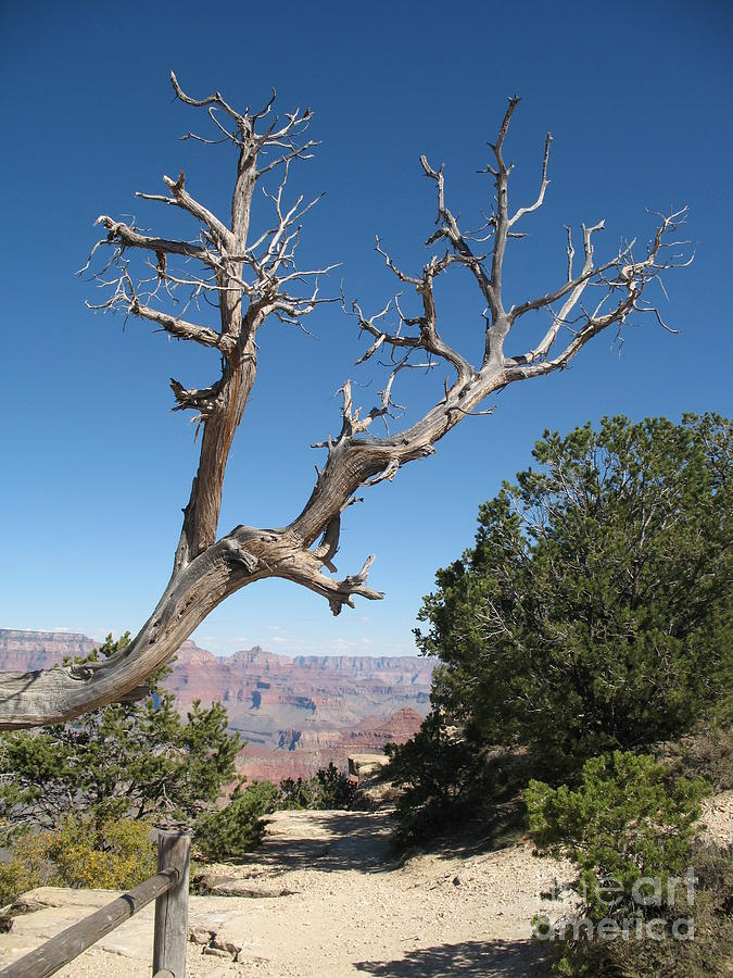 Trees Photograph - Dead Tree At Grand Canyon South Rim by Christiane Schulze Art And Photography