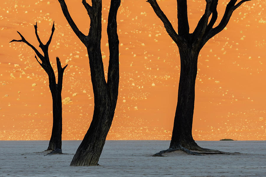 Dead Trees Against A Dune Background Photograph by Jeremy Woodhouse