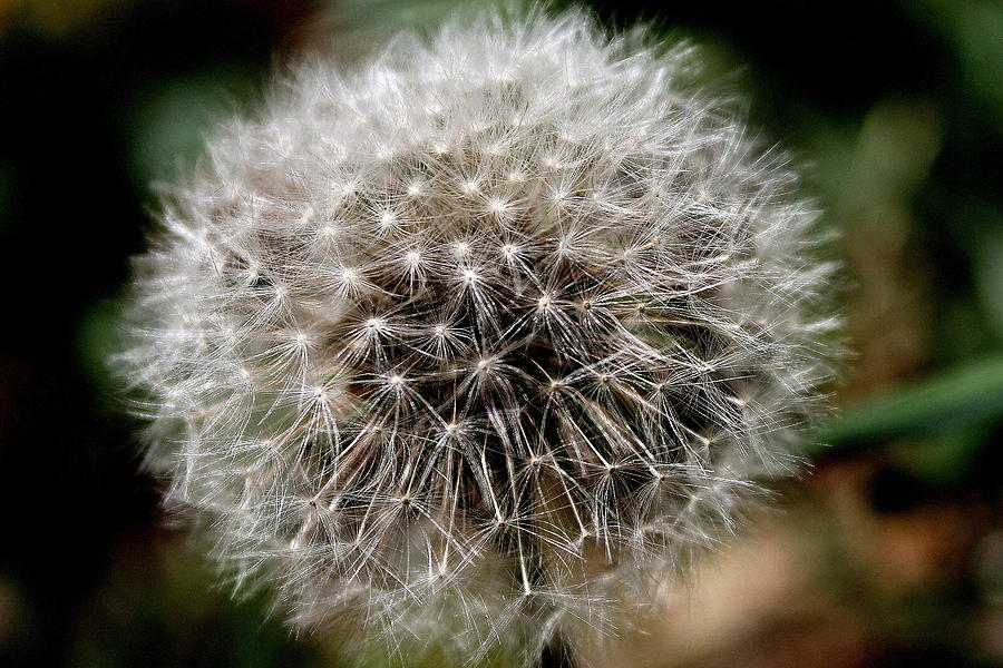 Dandelion Photograph - Deaths Beauty by Candice Trimble