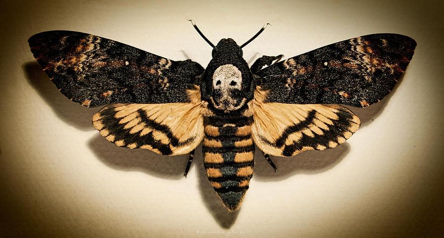 Deaths Head Hawk Moth Lomo Photograph By Weston Westmoreland