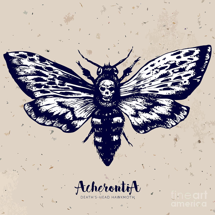 Deaths Head Moth original etching