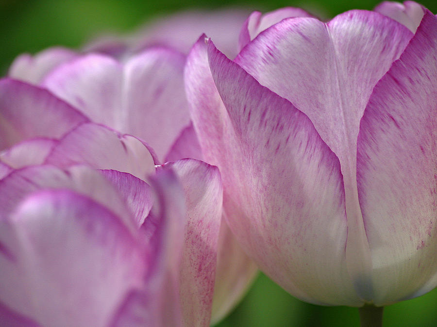 Tulip Photograph - Debutante by Juergen Roth