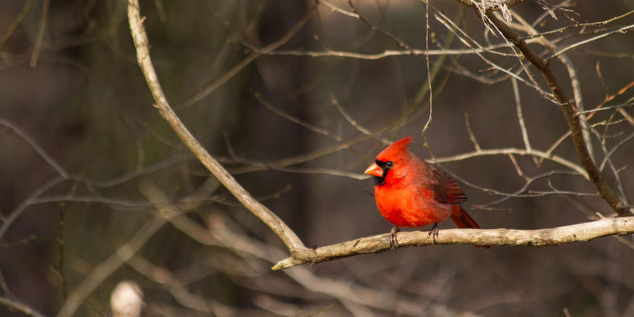 Cardinal Photograph - December Cardinal 2012 Pano by Nathaniel Kidd