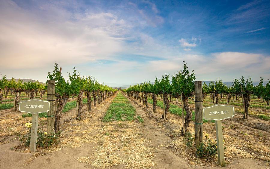 Vineyard Photograph - Decisions by Robert  Aycock