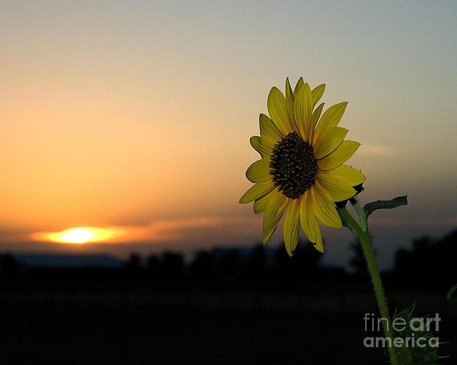 Digital Print Photograph - Sunflower And Sunset by Mae Wertz