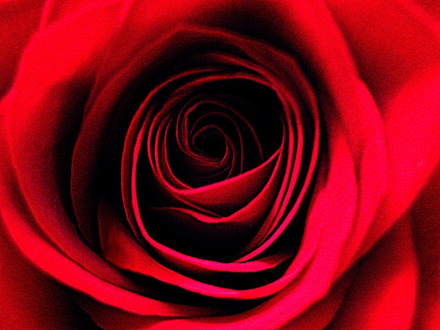 Rose Photograph - Deep Love by Shirley Sirois