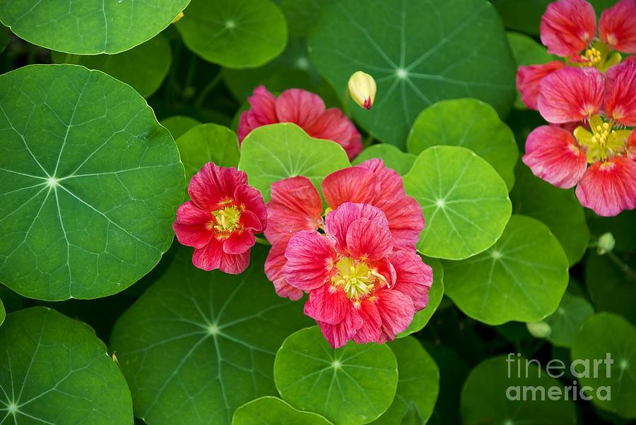 Nasturtium Photograph - Deep Pink Nasturtium by Lauren Brice