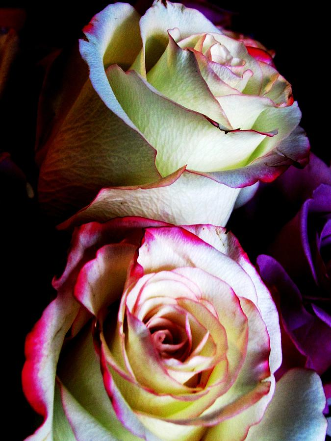 Roses Photograph - Deep Pink by Will Boutin Photos
