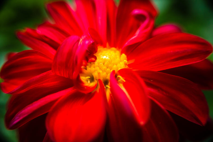 Deep Red Dahlia With Yellow Center Photograph By Onyonet Photo