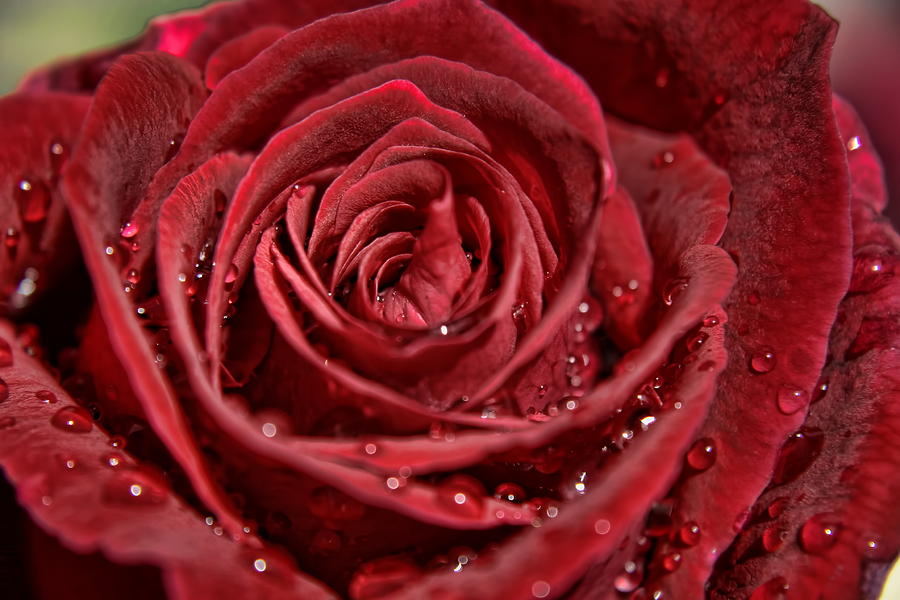Rose Photograph - Deep Red Rose by Gene Praag