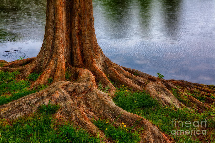 North Carolina Photograph - Deep Roots - Tree On North Carolina Lake by Dan Carmichael