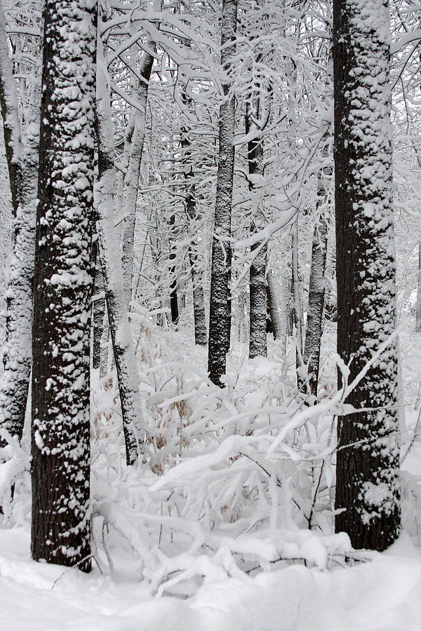 Winter Scene Photograph - Deep Snow In The Forest by Lynn-Marie Gildersleeve