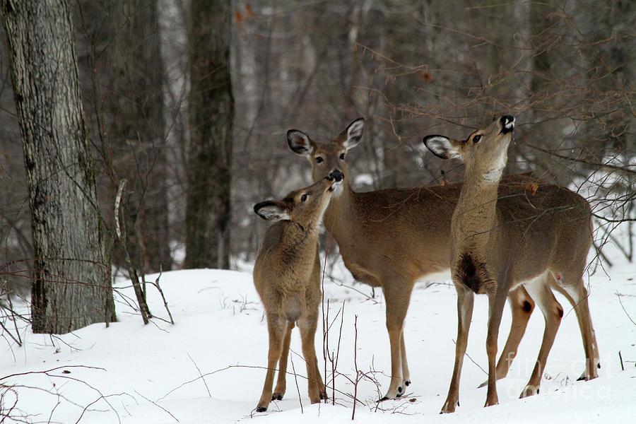 Deer Photograph - Deer Affection by Karol Livote