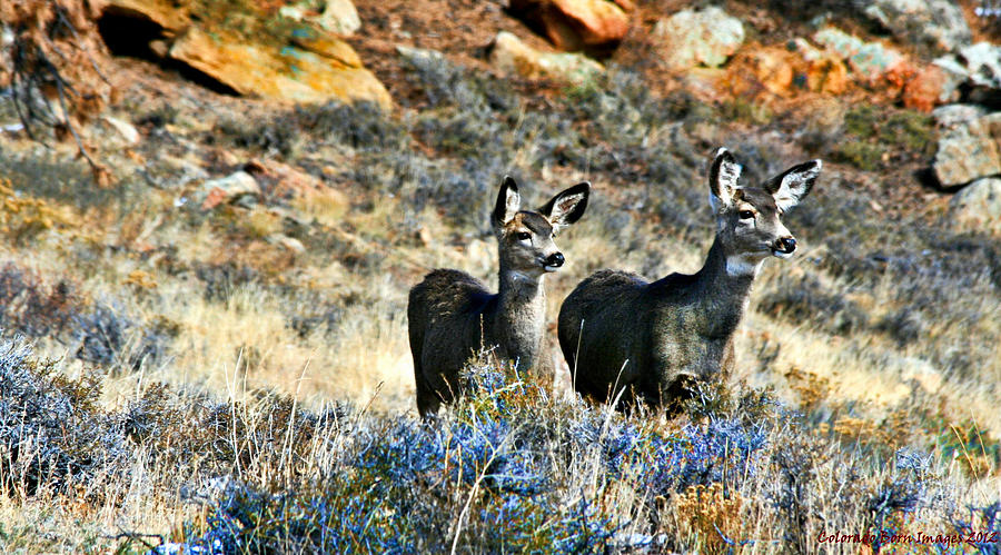 Colorado Photograph - Deer Alert by Rebecca Adams