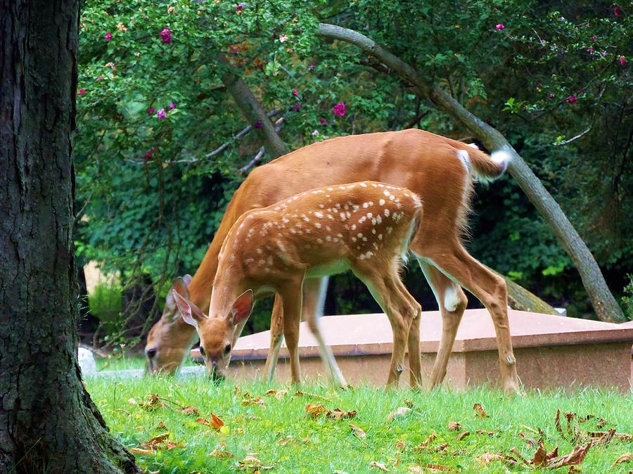 Deer Photograph - Deer And Fawn by Adam L