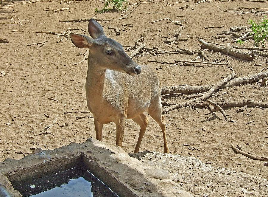 Animal Photograph - Deer At Waterhole by Judith Russell-Tooth