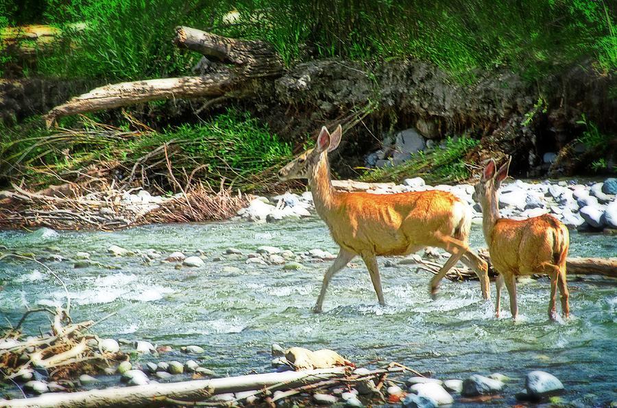 Deer Photograph - Deer Crossing by Cheryl Cencich
