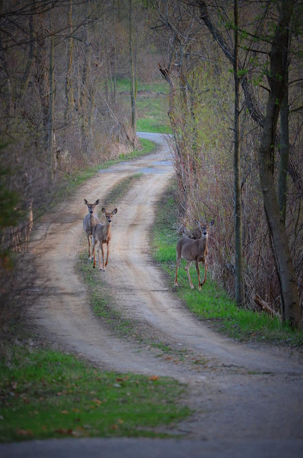 Nature Photograph - Deer Crossing by Jennifer  King