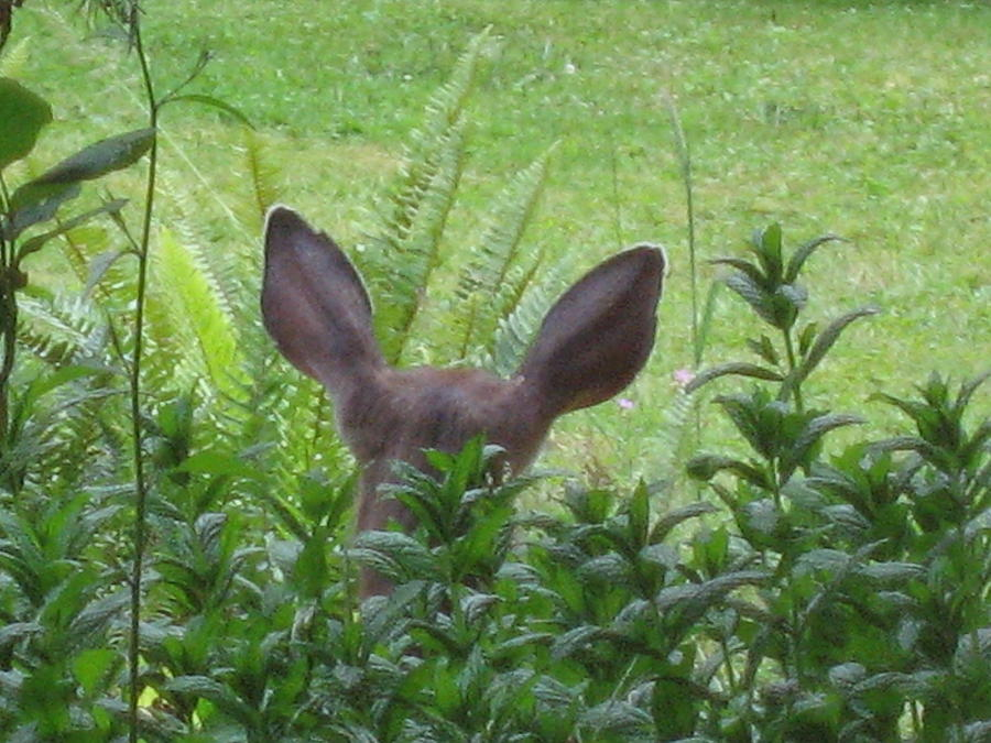 Animals Photograph - Deer Ear In A Mint Patch by Kym Backland