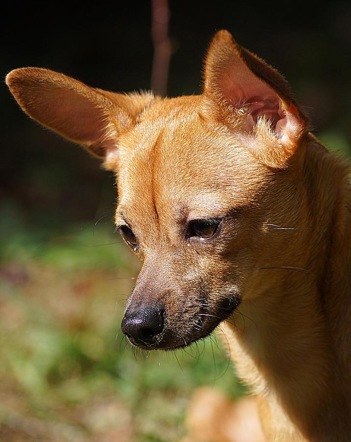 Deer Head Chihuahua Photograph By Paul Wilford