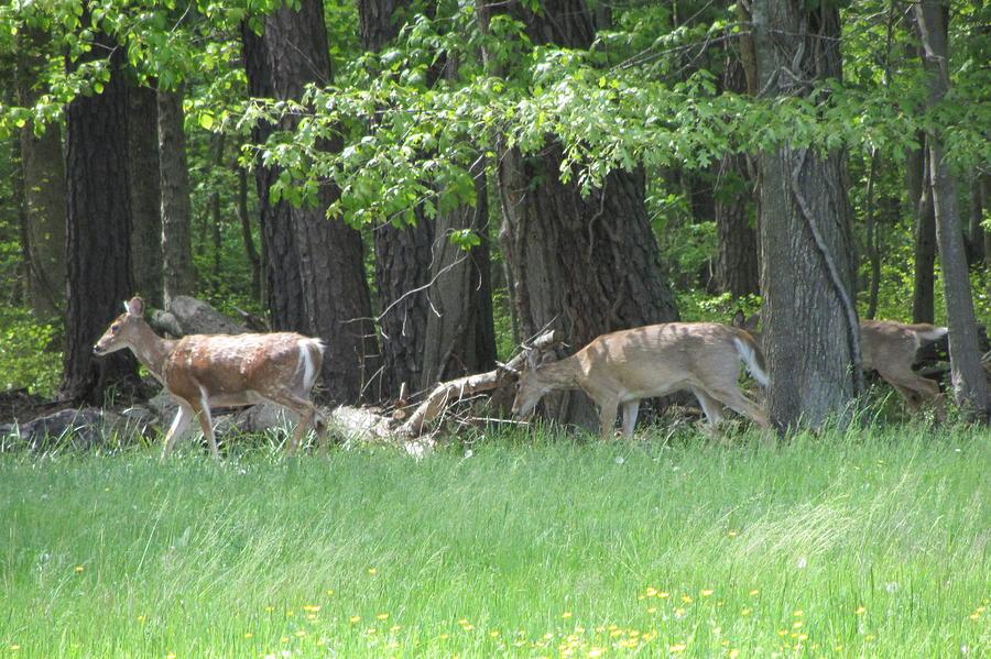 Deer Photograph - Deer In A Group by Debbie Nester