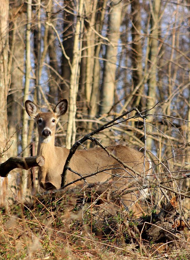 deer in the woods photograph by diane merkle