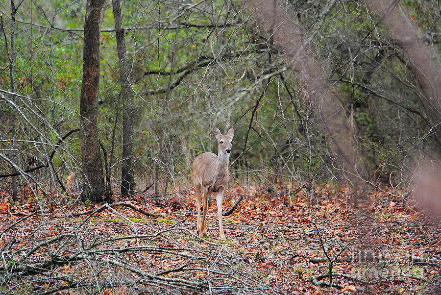 Deer In The Woods Photograph By Jai Johnson