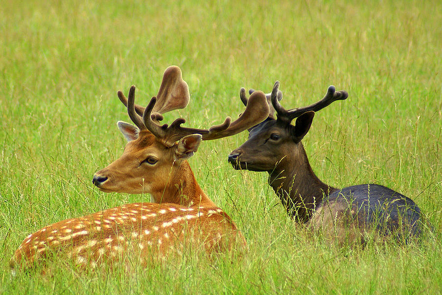 Black Photograph - Deer Lying In A Field by DerekTXFactor Creative