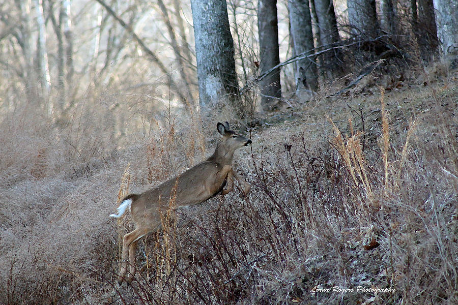 Deer Photograph - Deer Moving Upward by Lorna Rogers Photography