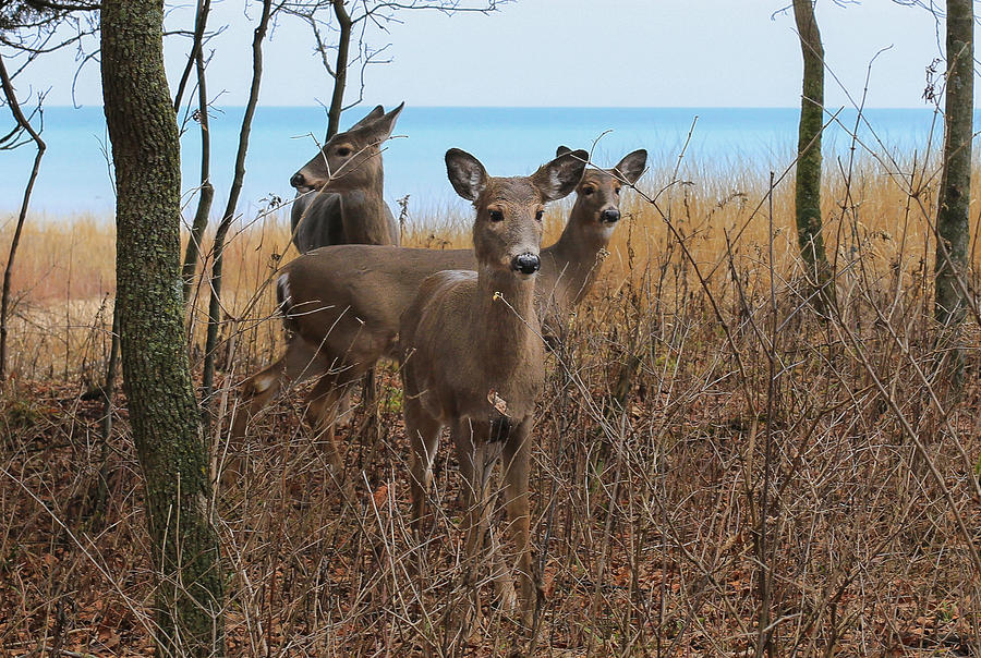 Deer Photograph - Deer On The Beach by Anna-Lee Cappaert