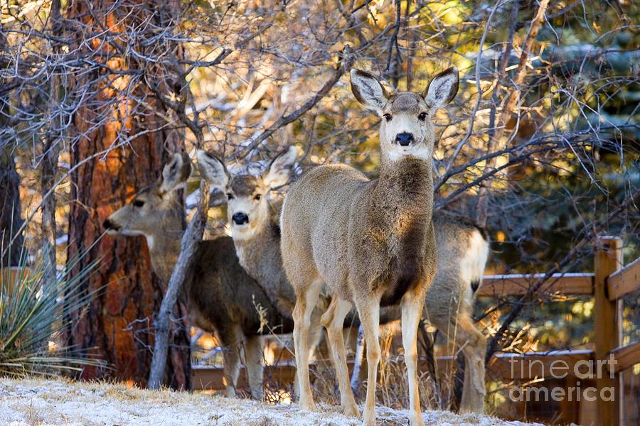 Deer Trio In Snow Photograph