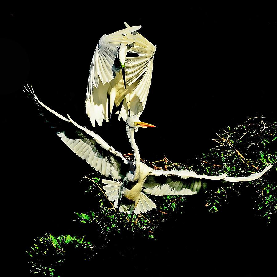 Egret Photograph - Defending The Nest by Stuart Harrison