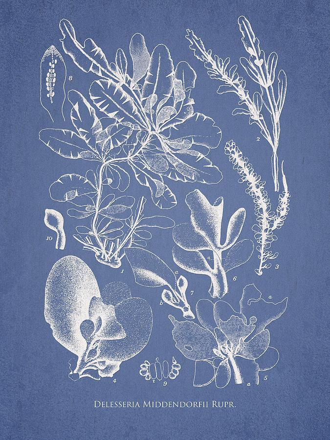 Algae Drawing - Delesseria Middendorfii by Aged Pixel