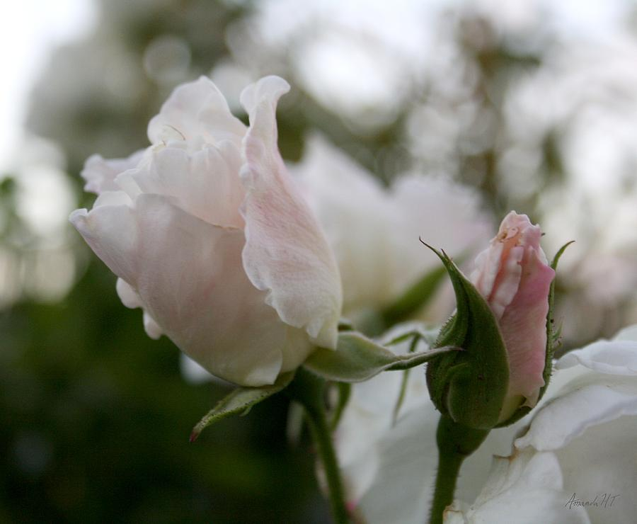 Roses Photograph - Delicate Children I by Amanda Holmes Tzafrir