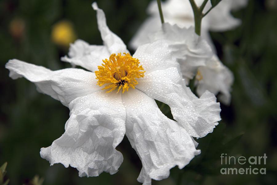 Dewy Flower Dew Photograph - Delicate Dew by Amanda Barcon