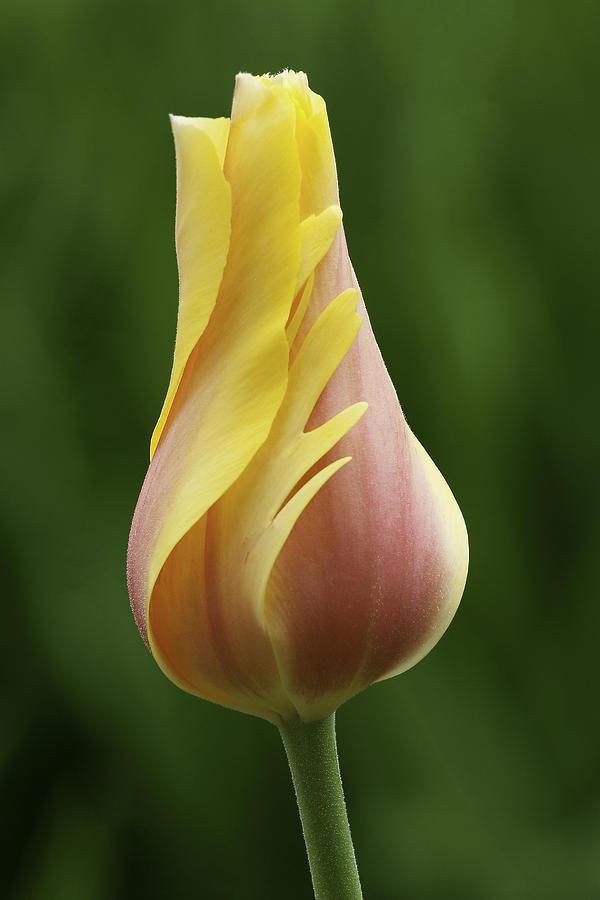 Flower Photograph - Delicate Folds Of A Tulip by Ram Vasudev