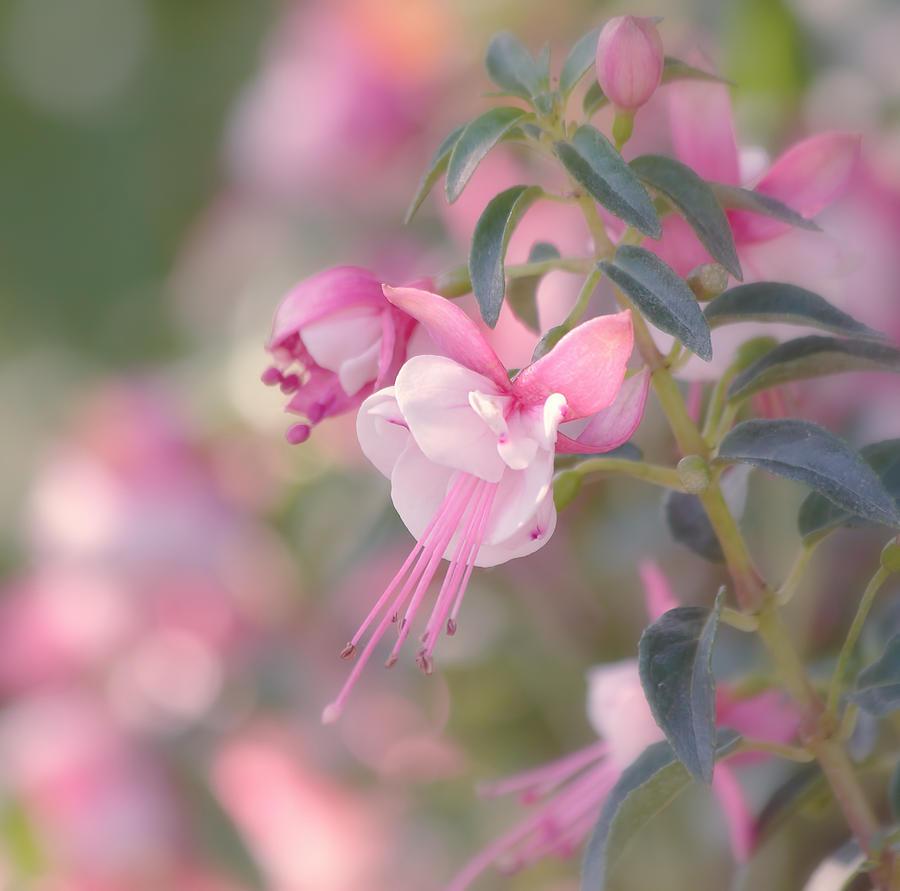 Flower Photograph - Delicate by Kim Hojnacki