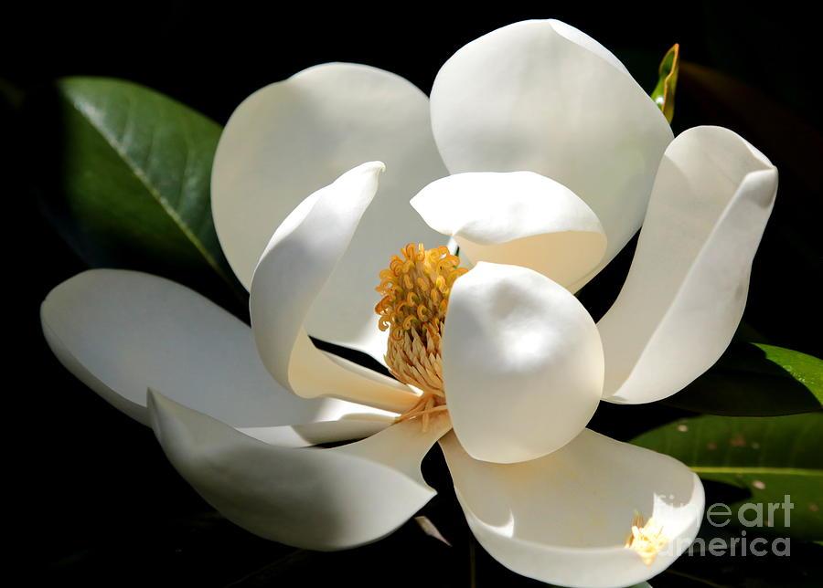 Delicate Magnolia by Carol Groenen