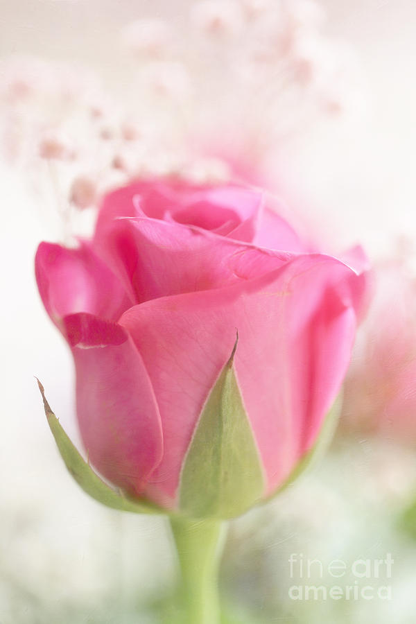 Delicate Pink Rose Photograph